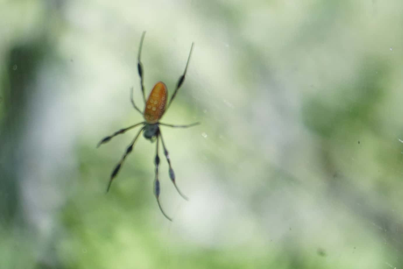 Gold Silk Spider at Audubon Swamp Garden