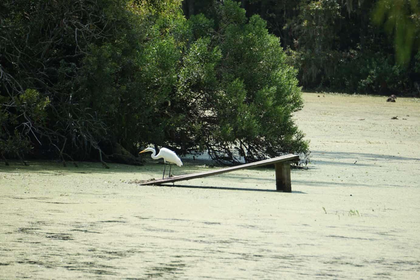 Great Egret at Audubon Swamp